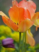 5th May 2021 - Bright Tulips