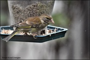 10th May 2021 - Mrs Greenfinch