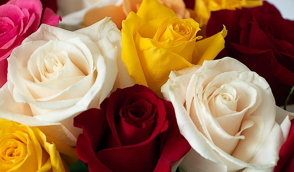 Closeup of Roses by cm_saratoga
