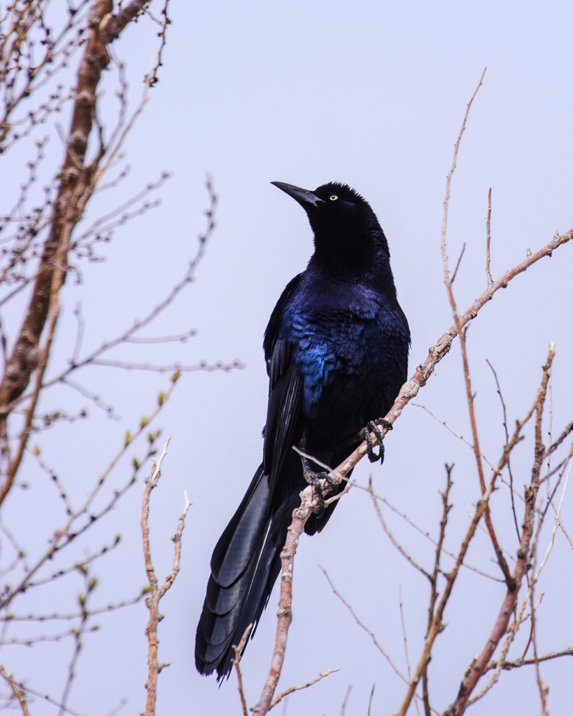 great-tailed grackle by aecasey