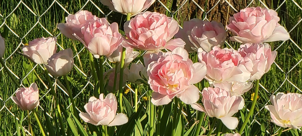 Pink Tulips  by gq