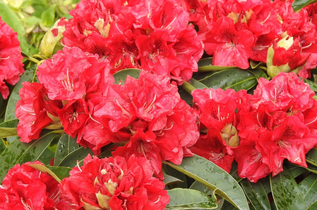 Rhododendron in full bloom in the garden   by susiemc