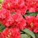 Rhododendron in full bloom in the garden