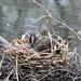 Nesting Moorhen