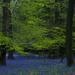DSC_blanket of bluebells 3