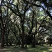 Live oak forest