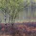 Birch trees and bog myrtle