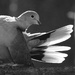 Collared Dove: Toilette