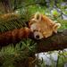 0509 - Red Panda dreaming of food