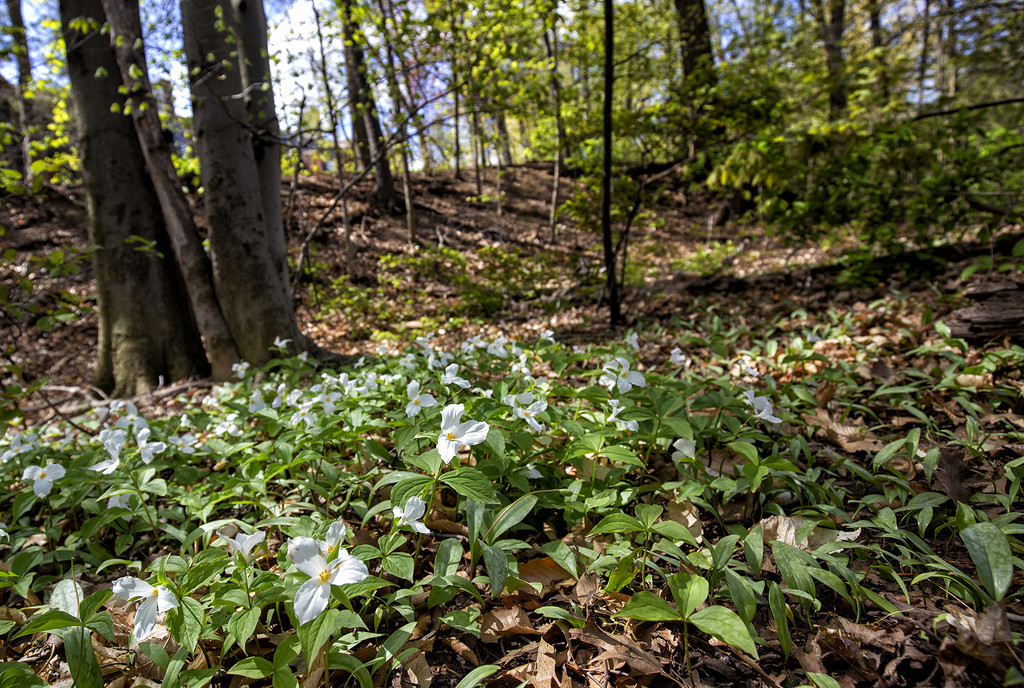 Trillium Forest  by pdulis