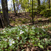 Trillium Forest