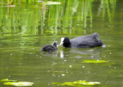 9th May 2021 - Coot & Chick.