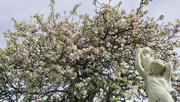 7th May 2021 - Apple Tree