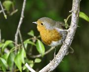 6th May 2021 - Robin