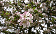 5th May 2021 - Sprig Of Apple Blossom.