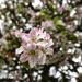 Sprig Of Apple Blossom.