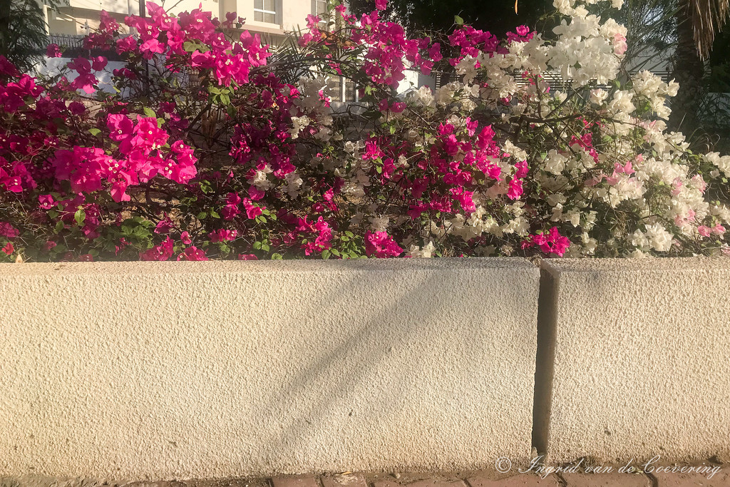 Bougainvillea and wall by ingrid01