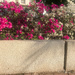 Bougainvillea and wall