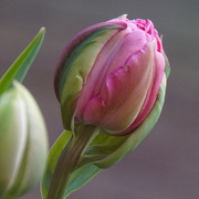 11th May 2021 - one more pink tulip