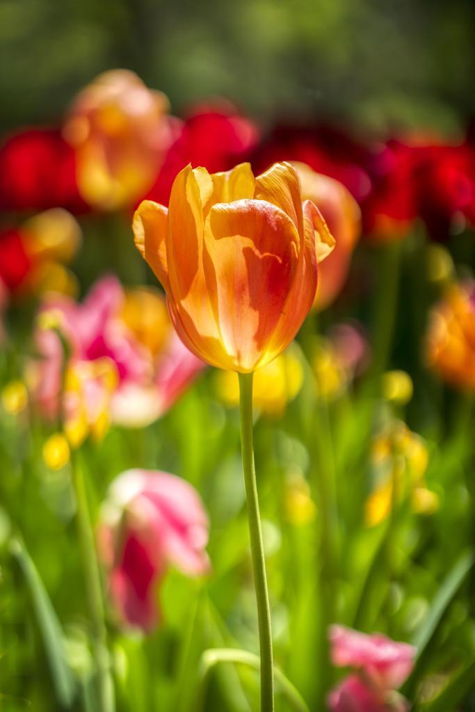 Tulips by kvphoto