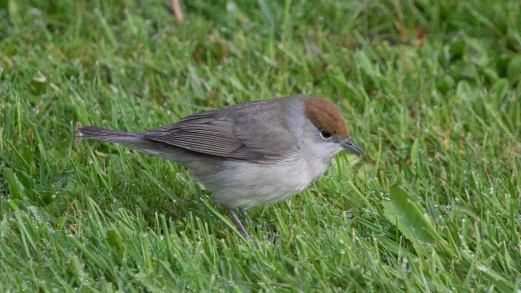Female Blackcap by lifeat60degrees