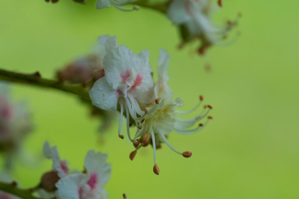 Horse chestnut tree blossom by rumpelstiltskin