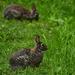 A Pair of Rabbits
