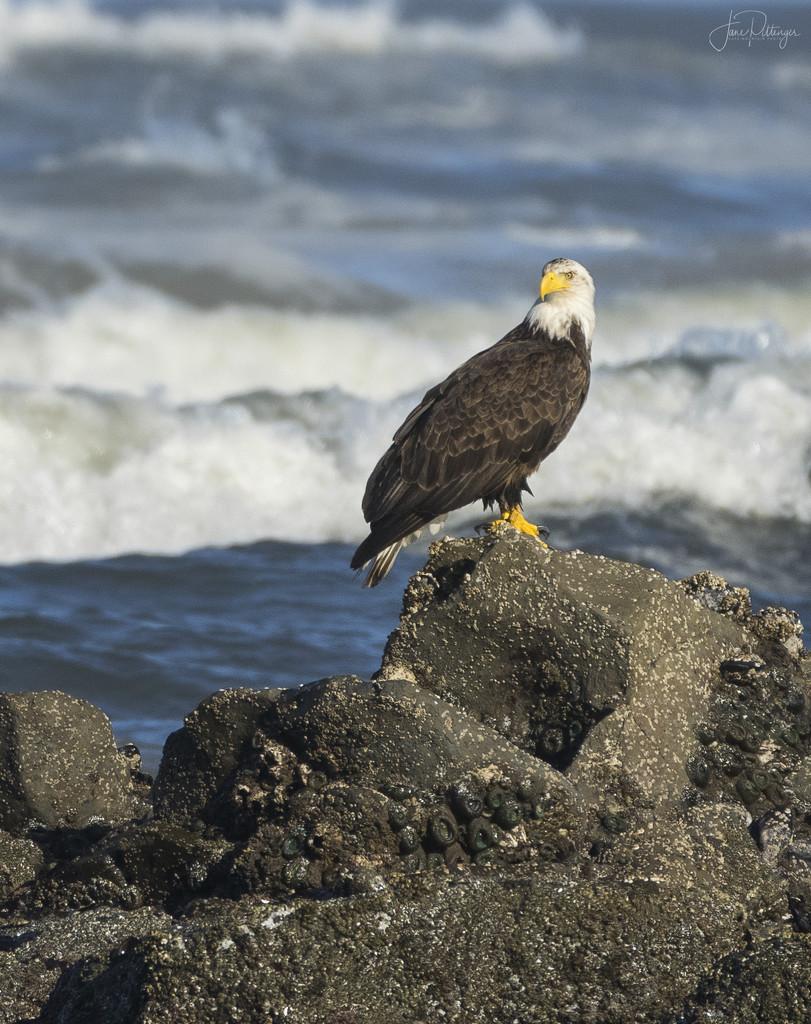Bald Eagle On the Rocks  by jgpittenger