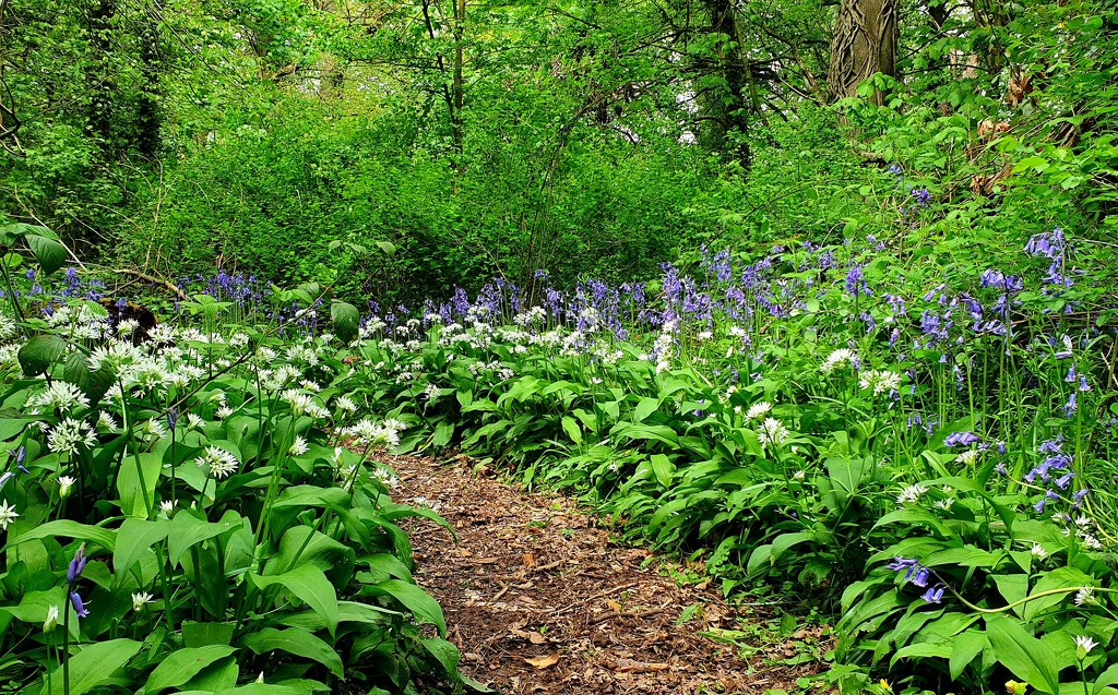 Bluebells and Ransoms by julienne1