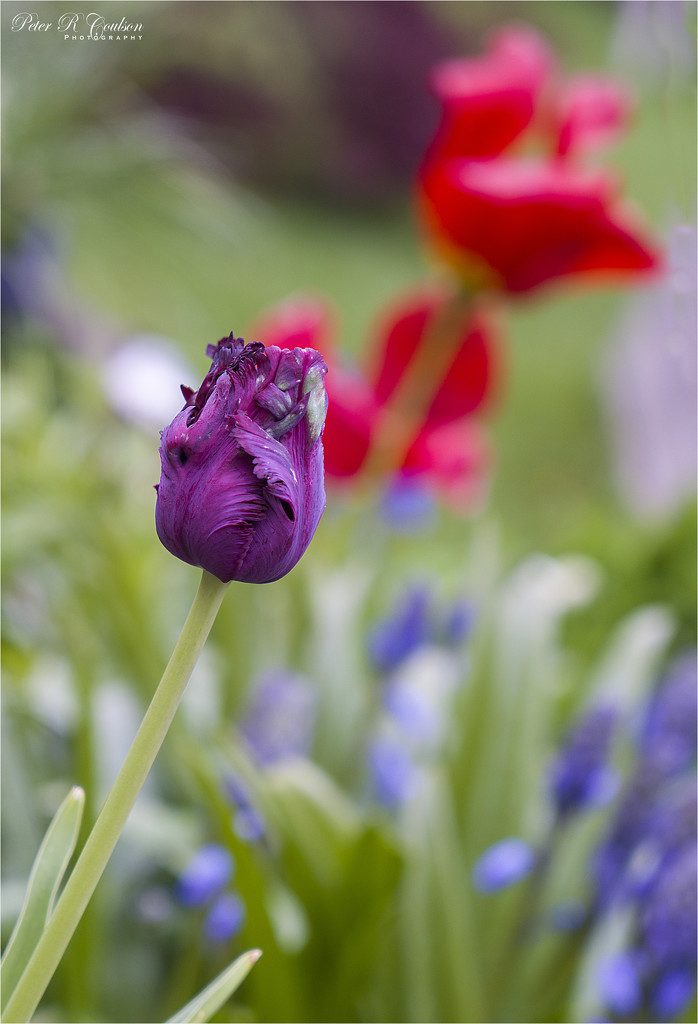 Purple Tulip by pcoulson