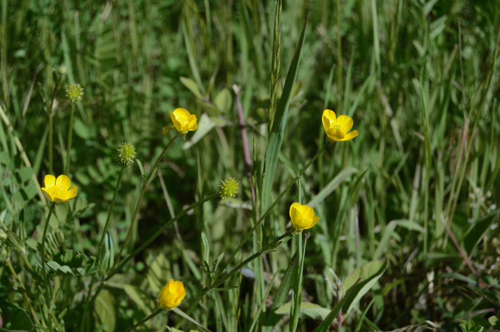 buttercups by francoise