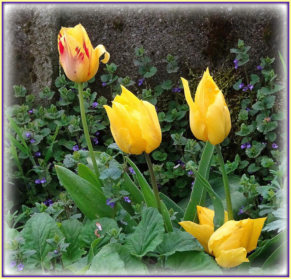 tulips in the garden by gijsje