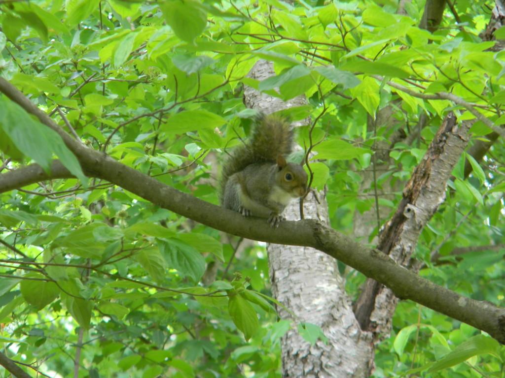 Squirrel in Dogwood Tree by sfeldphotos