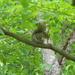 Squirrel in Dogwood Tree