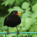 The Blackbird: Spring Song