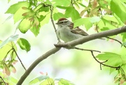11th May 2021 - Chipping Sparrow