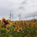 209 - Blanketflowers 1