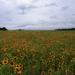210 - Blanketflowers 2