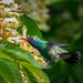 A Rare Visitor to Chicago: Broad-Billed Hummingbird