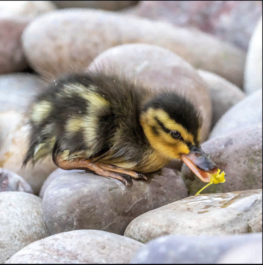 Duckling with Flower by shepherdmanswife