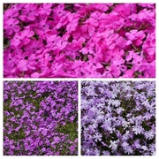 12th May 2021 - the colours of phlox