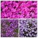 the colours of phlox