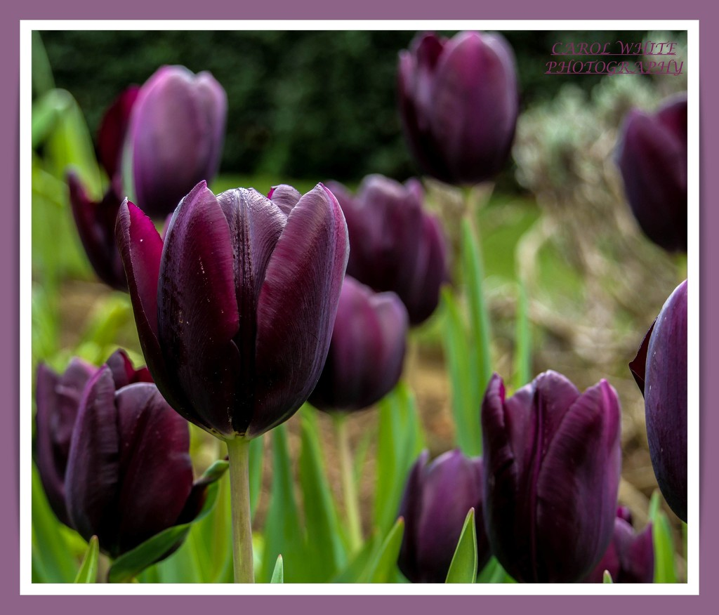 Queen Of The Night,Tulips by carolmw