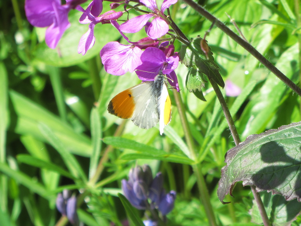 Honesty Flowers and an Orange tip butterfly. by grace55