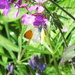 Honesty Flowers and an Orange tip butterfly.