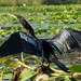 Anhinga Ready for Takeoff