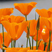 Ubiquitous California Poppies