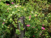 13th May 2021 - The wild honeysuckle and the wild rose...
