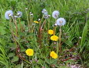 12th May 2021 - The three stages of dandelion (Taraxacum officinale)