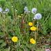 The three stages of dandelion (Taraxacum officinale)